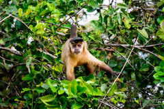 Brown Capuchin monkey watching closely Royalty Free Stock Photo