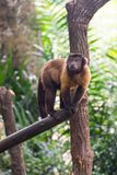 Brown capuchin podczas gdy patrzejący dla jedzenia Obrazy Stock