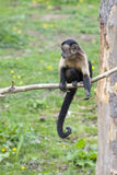 Brown Capuchin sitting in a tree Stock Image