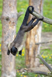 Brown Capuchin swinging on a tree Stock Images