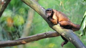 Brown capuchin on a tree branch Royalty Free Stock Images