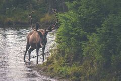 Brown Caribou Walking Through a Stream Royalty Free Stock Photography