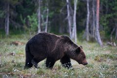 Brown carrega arctos do Ursus na floresta imagens de stock