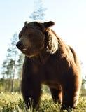Brown carrega muito próximo Ascendente próximo do urso imagem de stock