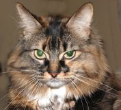 Brown cat. A picture of a brown cat Royalty Free Stock Photography