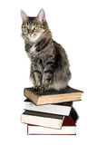 Brown cat on a books. On white background Royalty Free Stock Image