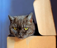 Brown cat in a box Royalty Free Stock Photos