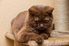 Brown cat British Shorthair Royalty Free Stock Image