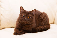 Brown cat British Shorthair Royalty Free Stock Photo