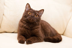 Brown Cat British Shorthair Royalty Free Stock Photos