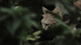 Brown cat in the bushes on a hunt stock footage