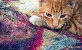 The Brown Cat on Carpet. Photo stock images