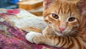 The Brown Cat on Carpet. Photo stock photography