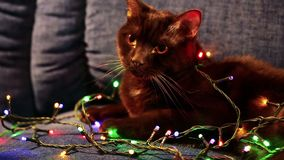 Cat in a garland. Brown cat with a christmas garland stock video