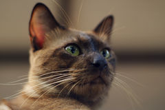 Brown Cat Close Up Imagem de Stock
