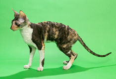 Brown cat Cornish Rex Stock Photography