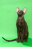 Brown cat Cornish Rex Stock Photo