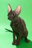 Brown cat Cornish Rex Royalty Free Stock Photo