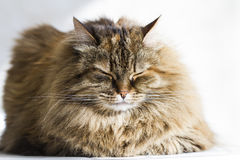 Brown cat in the garden, long haired siberian breed. Adorable brown cat of siberian breed stock photo