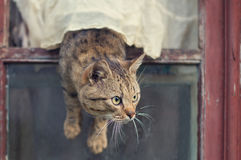 Brown cat gets out of the window. Brown spotted cat with a fluffy moustache gets out of the window Stock Images