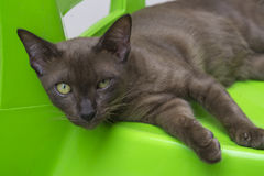 Brown cat on green chair royalty free stock image
