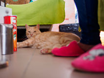Brown cat. In living room royalty free stock images