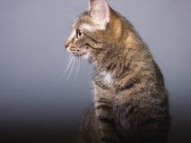 Brown cat look looking away, profile photo of pet stock image