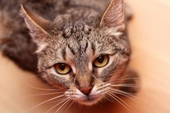 Cat looking at camera Royalty Free Stock Photos