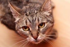 Cat looking at camera. Brown cat looking at camera Royalty Free Stock Photos