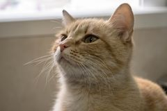 Brown cat looking to the front. Relaxed brown cat looking attentively to the front in a house royalty free stock images