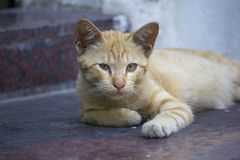 Brown cat lying on the floor and looking royalty free stock images