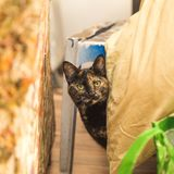 Brown Cat Peeking. Brown multicolor cat peeking out from behind furniture and blankets inside a home Stock Image