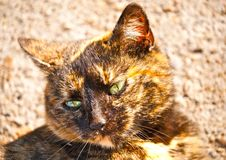 Brown cat portrait Royalty Free Stock Images