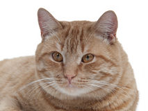 Brown cat portrait Stock Images