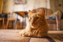 Brown Cat, Red Male Cat, Ginger Cat stock photo