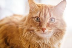 Brown Cat, Red Male Cat, Ginger Cat Stock Photography