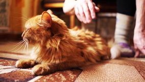 Brown Cat, Red Tabby Male Cat, Ginger Cat stock video footage