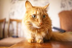 Brown Cat, Red Tabby Male Cat, Ginger Cat Stock Photography