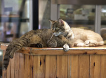 Brown cat relaxing on a sun in the bar. Valletta, Malta. Maltese cat. Cat relaxing on a sun Stock Image