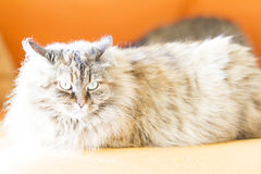 Brown cat of siberian breed, female Stock Photography
