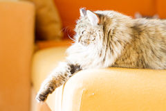 Brown cat of siberian breed, female Royalty Free Stock Photos