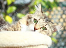 Brown cat of siberian breed,female Royalty Free Stock Photo