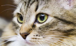 Brown cat of siberian breed in the house, kitten face. Little cat of siberian breed, brown version stock photos