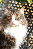 Brown cat of siberian breed,male Royalty Free Stock Images
