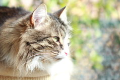 Brown cat of siberian breed Royalty Free Stock Photography