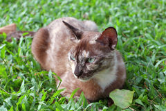 Brown cat sitting on green grass. Brown spot cat sitting on green grass Stock Photography