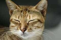 Brown cat sleeping Royalty Free Stock Photos