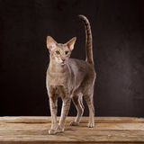 Brown cat standing Royalty Free Stock Photo