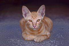 Brown cat stay at home. Brown Thai cat with yellow eyes stay on the floor and looking eye contact at people royalty free stock images