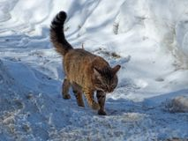 Brown cat walking on dirty snow. Stock Photo